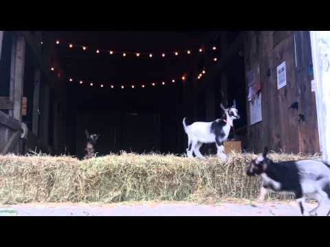 Baby Goat Flood at Sunflower Farm