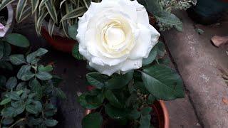 റോസ് ചട്ടിയിൽ നടുന്ന വിധം /How to plant rose in a pot