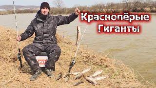 Клюёт гигантская красноперка на спиннинг Рыбалка и ловля рыбы весной на тараканов