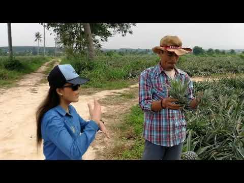 วิธีการปลูกสับปะรด ณ ไร่ไพรัตย์ -  ทรัพย์เกษตร EP.1