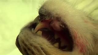 Снятие конструкции со сломанной челюсти кота