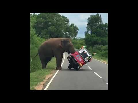 Elephant Tips Over Tuk Tuk in Search of Food