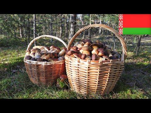 Урожайный год - Беларусь - сбор благородных грибов