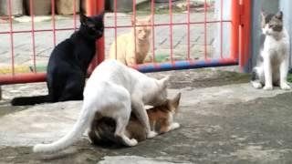 kucing digilir empat pejantan