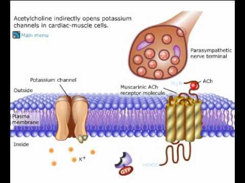 Acetilcolina e sua ação nas células musculares cardíacas