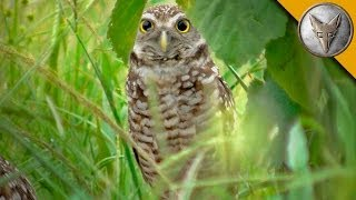 A Rare Glimpse of the Burrowing Owl