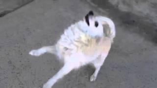 Pomeranian Jj
