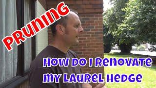 Renovating a Hedge - Laurel