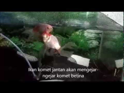 Gambar Ikan Komet Jantan Dan Betina Aneka Ikan Hias