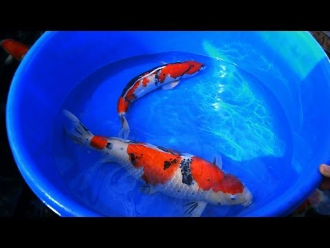 Koi Carp Male and Female Fish Identification 1 of 3