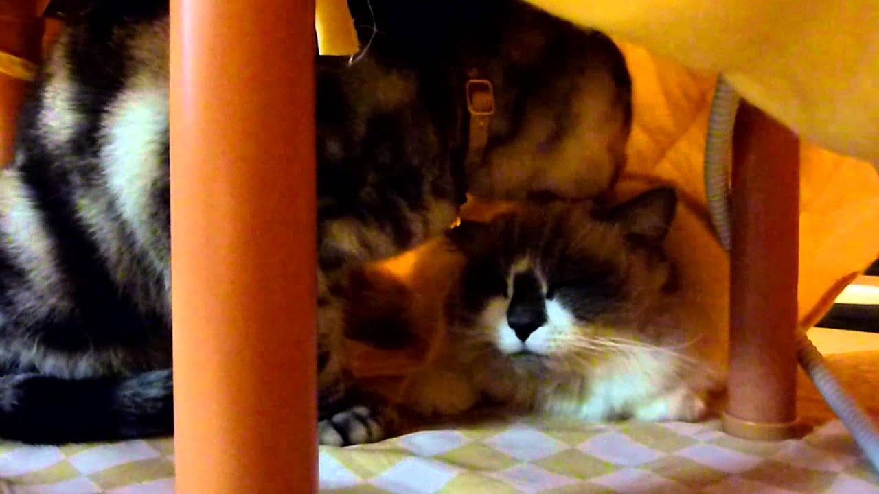 Download コタツでペロペロ~猫   Reo licks Rara's head in the Kotatsu