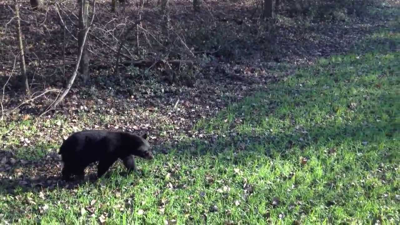 Big Black Cats In Arkansas