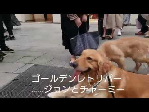 Golden retriever Ginza walking