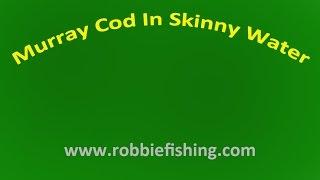 Murray cod in skinny water