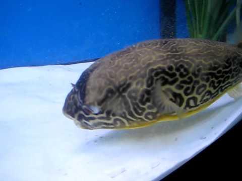 Gillys Mbu Puffer Fish Youtube