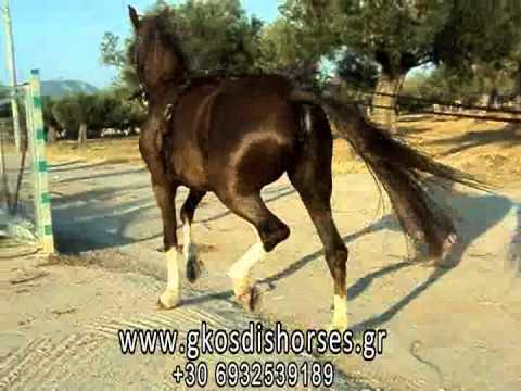Εκπαίδευση αλόγου KWPN - Άλογα Γκοσδής www.gkosdishorses.gr