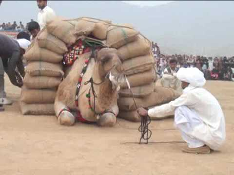 Camel weightlifting in 2014