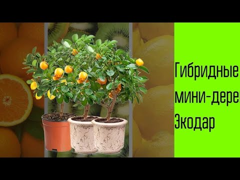 Вопрос: Мини-деревья Экодар – можно ли есть эти фрукты и вкусные ли они?