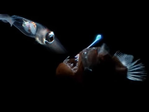 Deep Sea Creatures Exhibit Bioluminescence | Blue Planet | BBC Earth