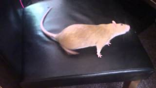 Rat head tilt - Basil