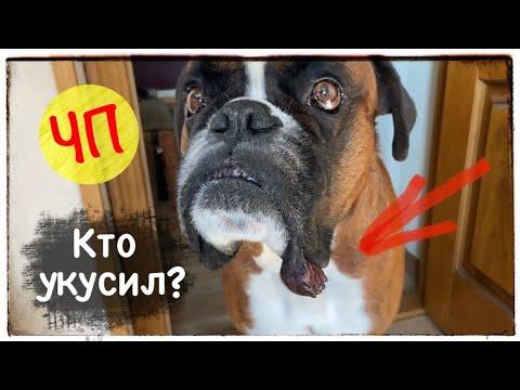 Вопрос: У щенка шарпея разнесло морду и посинели щеки, что это может быть?