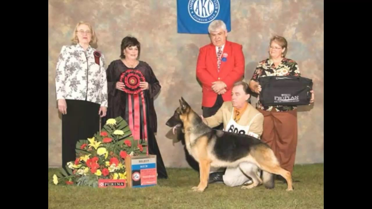 Difference between Show Line and Working Line German Shepherds