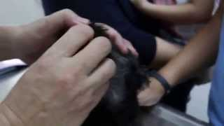How To Take Care Of A Schnauzer Puppy's Ears