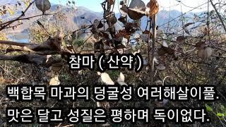 [ 약초 ] 참마(산약)효능 - 정력강화 피부미용등 땅…