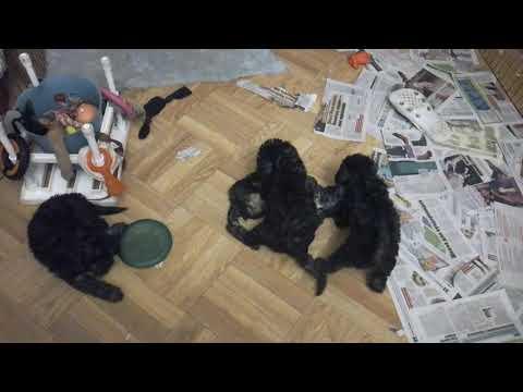 Airy Step Bedlington terrier kennel, litter L(4)