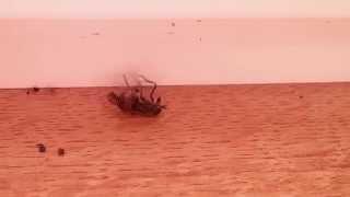 Нижний брейк овода / Dancing gadfly