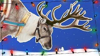 Reindeer for Kids | Caribou | Wild Animals | Arctic Animals