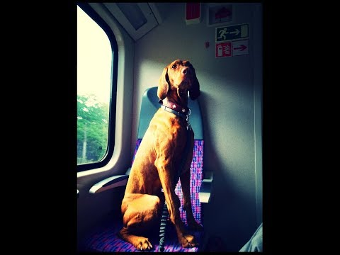 Trainspotting - Hungarian Vizsla