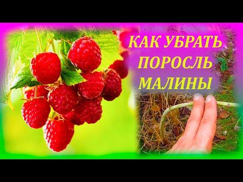 МАЛИНА уползает из малинника? Как избавиться от лишней поросли малины. Как выращивать малину.
