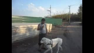 туркменский алабай  Рэм 1.2 года(Рэм 1.2., 2016-07-15T09:57:24.000Z)