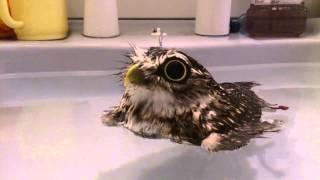 水浴びするフクロウ