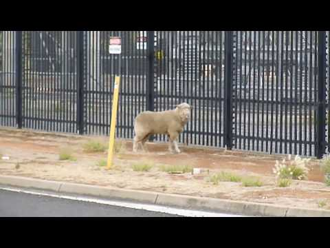 SA police chasing a sheep