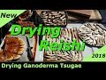 (Drying Reishi Mushrooms) Truck Tailgate Drying Ganoderma Tsugae! Best time to harvest (Reishi 2018)