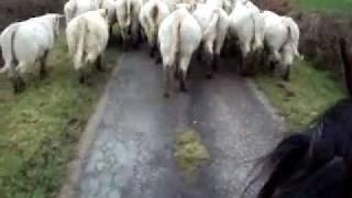 convoyage charolaises