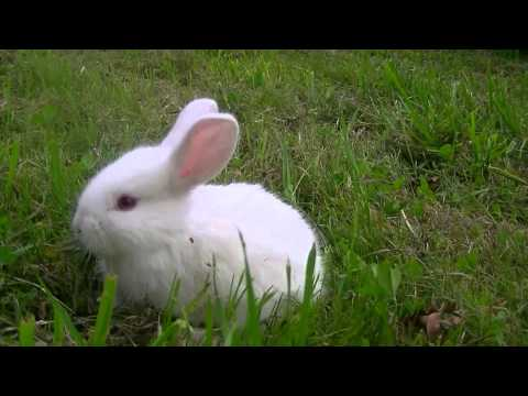 albino rabbit ( white with red eyes ) HD - YouTube