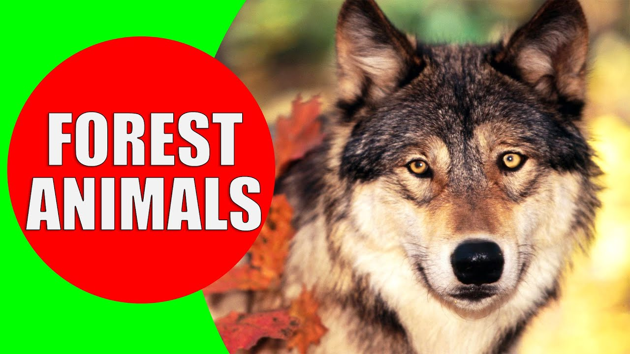 Temperate zone animals have an array of adaptations for surv some temperate zone animals include deer, bears, wolves, small mammals, raptors and. Forest Animals For Kids Children Learn Temperate Forest Animal Sounds Animals Of The Forest Youtube