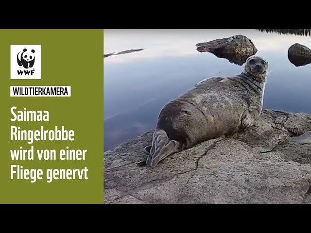 Saimaa Ringelrobbe wird von einer Fliege genervt   Wildtierkameras   WWF Deutschland