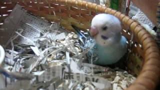 セキセイインコの雛 2010/03/30生まれ 2010/05/03撮影 かなりお腹が空い...