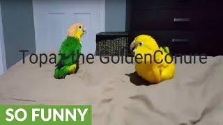 Topaz the Golden Conure's epic dance moves