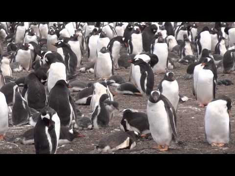 South America - Slideshow - Bluff Cove Penguins -Stanley, Fa