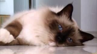Бирманская кошка, описание, Порода кошек