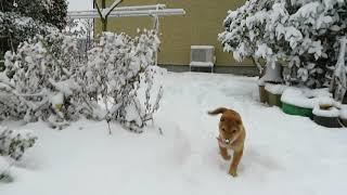 山陰柴犬モモまさに犬は喜び庭かけ回るです。