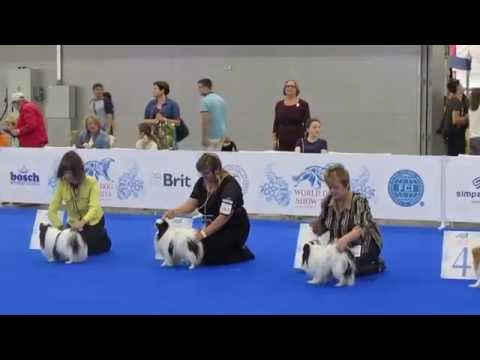 WDS 2016. Japanese Chin World Dog Show 2016.