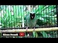 Cucak Ijo Gacor Untuk Pancingan Burung Cucak Ijo Malas Bunyi  Mp3 - Mp4 Download