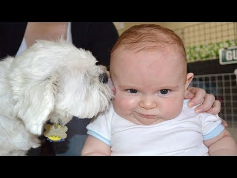 Dog Attacks Baby with kisses Funny Videos