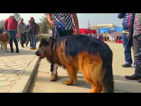 Long Hair German Shepherd in slow motion - Dog show winner
